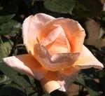 2柏の葉公園のバラ(80%).jpg