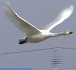 白鳥の飛行.jpg